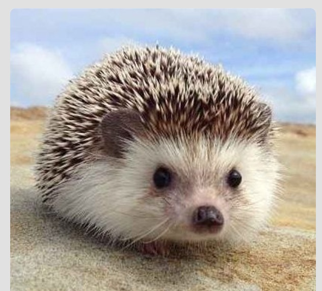Move Over Punxsutawney Phil: Hedgehogs Rule! | The Writable Life